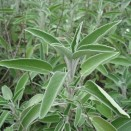 Salvie - Salvia officinalis