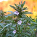 Cimbru de gradina Satureja hortensis