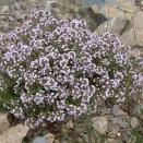 Cimbru de camp Thymus vulgaris