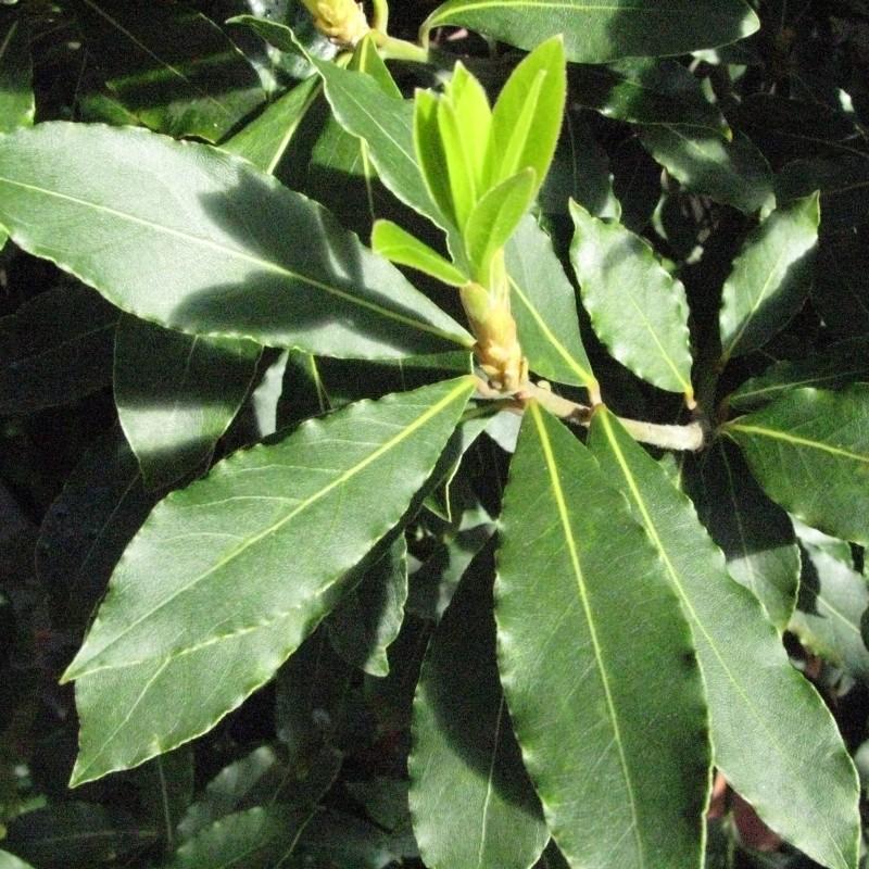 Dafin - Laurus nobilis