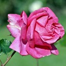 Trandafir Criterion