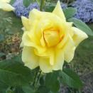 Trandafir Golden Parfume