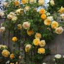 Trandafir Graham Thomas