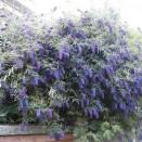 Liliac de Vara Buddleja Nanho Blue