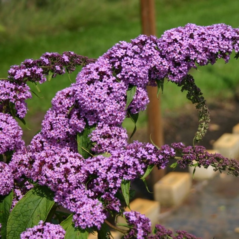 Liliac de Vara Buddleja Purple Prince