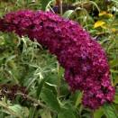 Liliac de Vara Buddleja Royal Red