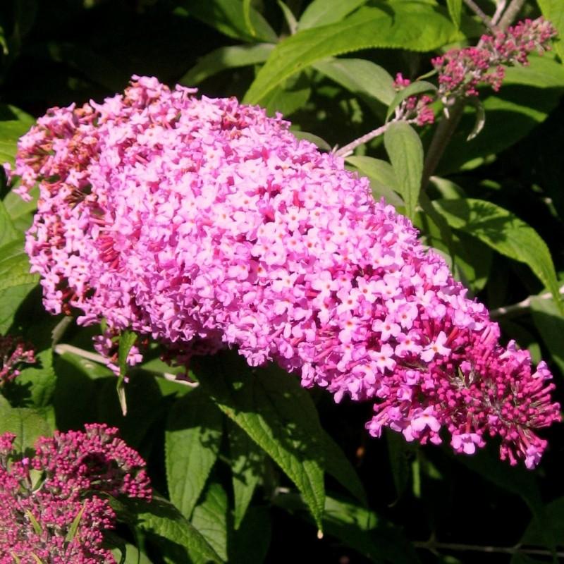 Liliac de Vara Buddleja Pink Delight