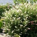 Liliac de Vara Buddleja White Profusion
