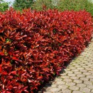 Photinia fraserii Red Robin