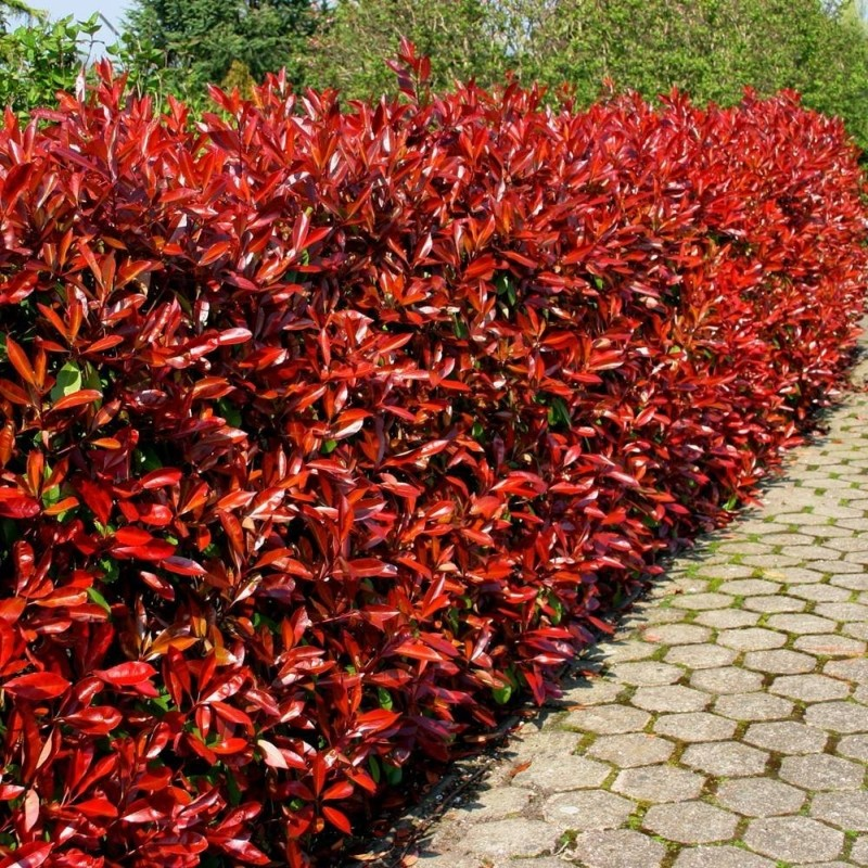 photinia fraserii red robin. Black Bedroom Furniture Sets. Home Design Ideas