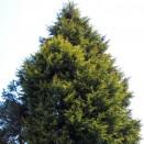 Chiparos Cupressocyparis x leylandii
