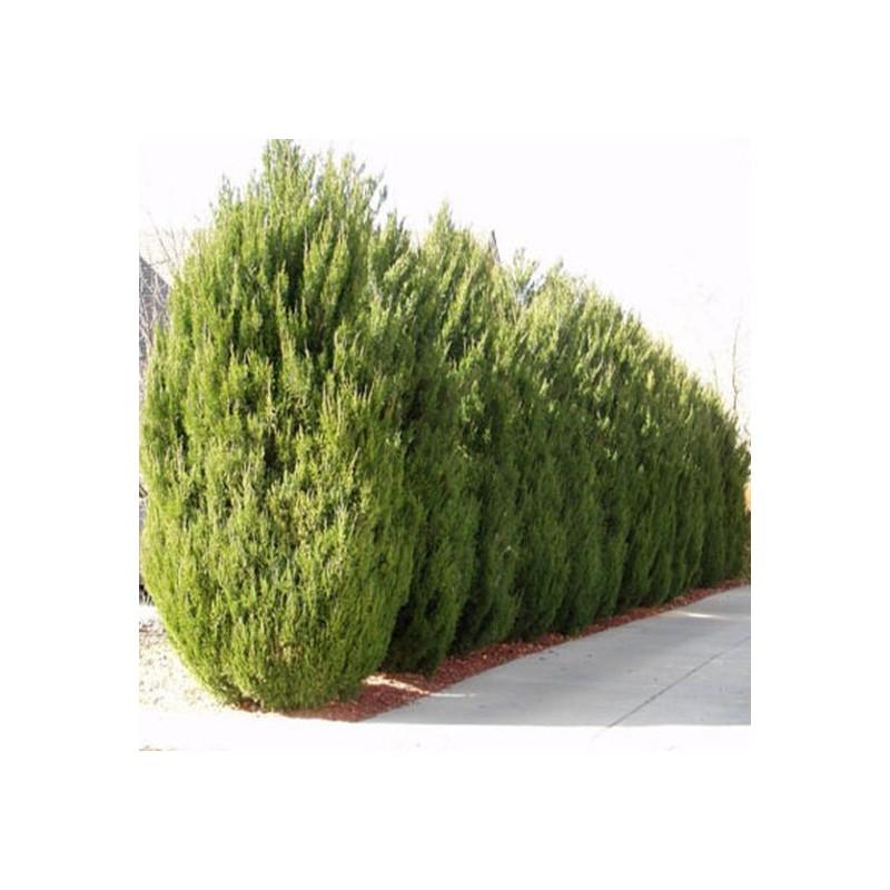 Ienupar Juniperus virginiana Spartan