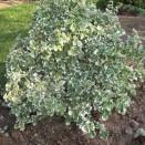 Euonymus fortunei Emerald Gaety