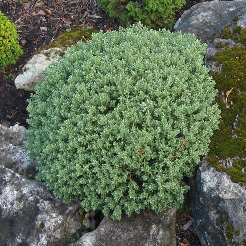 Hebe pinguifolia Sutherlandii