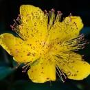 Sunatoare Hypericum calycinum