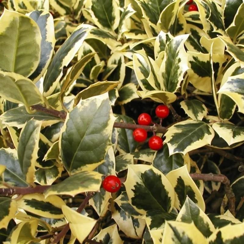 Ilex Aquifolium Golden van Tol