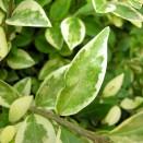 Ligustrum ovalifolium Argenteomarginatum
