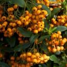 Arbust Pyracantha Golden Charmer