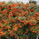 Arbust Pyracantha Orange Glow