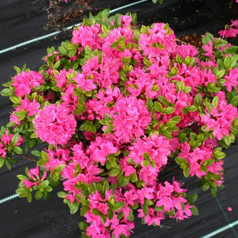 Rhododendron Azalea Japonica Kermesina