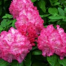 Rhododendron Germania