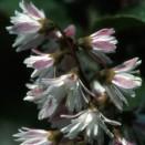 Deutzia scabra Codsall Pink
