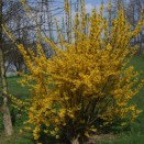 Ploaie de Aur Forsythia intermedia Goldzauber