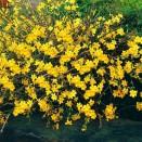 Iasomie Jasminum nudiflorum