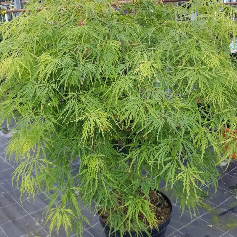 Artar Japonez Acer palmatum Dissectum