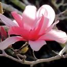 Magnolia Galaxy