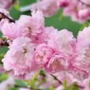 Cires Japonez Prunus triloba Multiplex