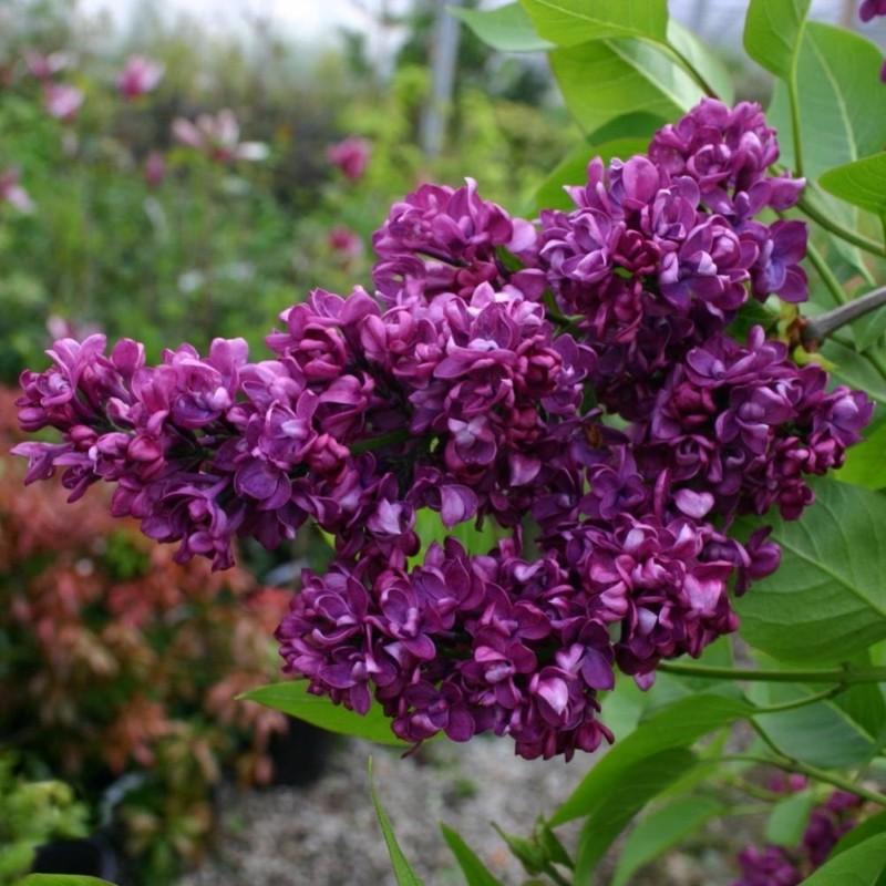 Liliac Syringa vulgaris Charles Joly