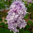 Liliac Syringa vulgaris Katherine Havemayer
