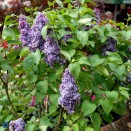 Liliac Syringa vulgaris Michel Buchnerer
