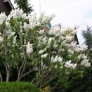 Liliac Syringa vulgaris Mme Lemoine