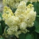 Liliac Syringa vulgaris Primrose
