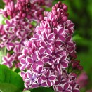 Liliac Syringa vulgaris Sensation