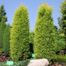 Ienupar Juniperus communis Gold Cone