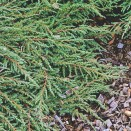 Ienupar Juniperus communis Green Carpet