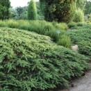 Ienupar Juniperus communis Green Carpet