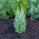 Ienupar Juniperus communis Hibernica