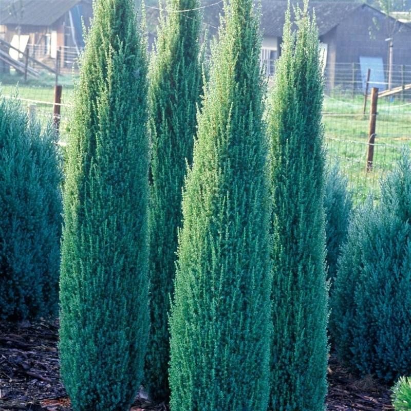 Ienupar Juniperus communis Sentinel