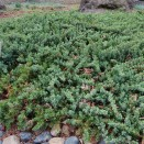 Ienupar Juniperus conferta Blue Pacific