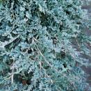 Ienupar Juniperus horizontalis Icee Blue