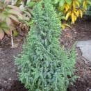 Ienupar Juniperus pingii Loderi