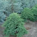 Ienupar Juniperus procumbens Nana