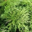 Ienupar Juniperus sabina Tamariscifolia