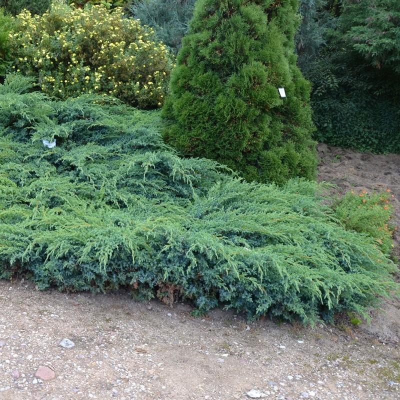 Ienupar Juniperus squamata Blue Carpet