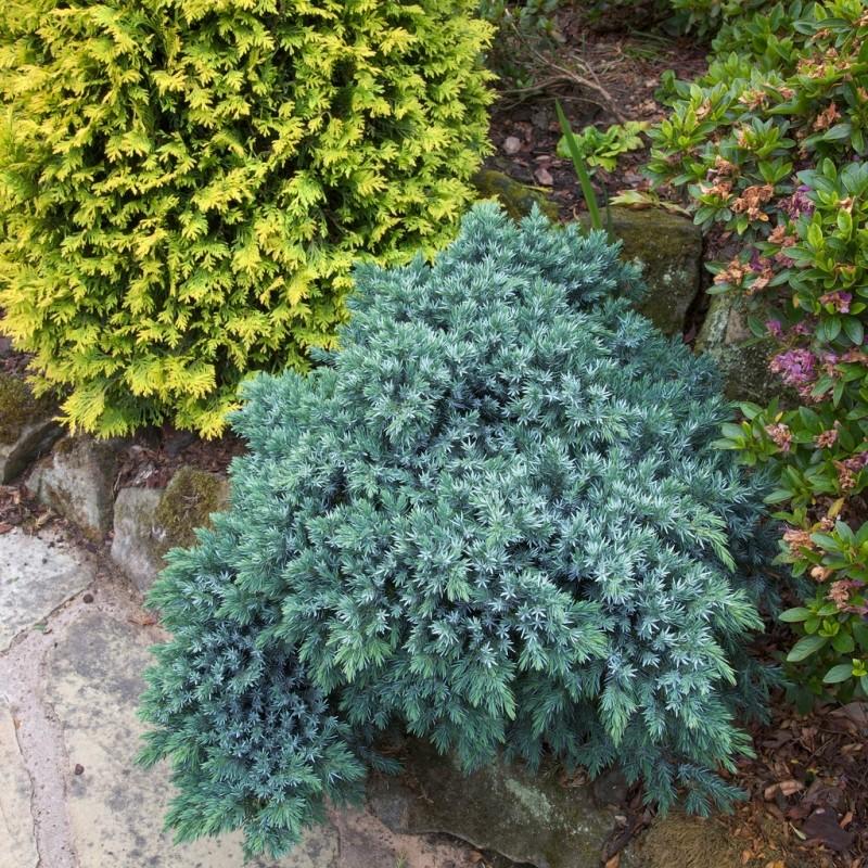 Ienupar Juniperus squamata Blue Star