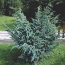 Ienupar Juniperus squamata Meyeri